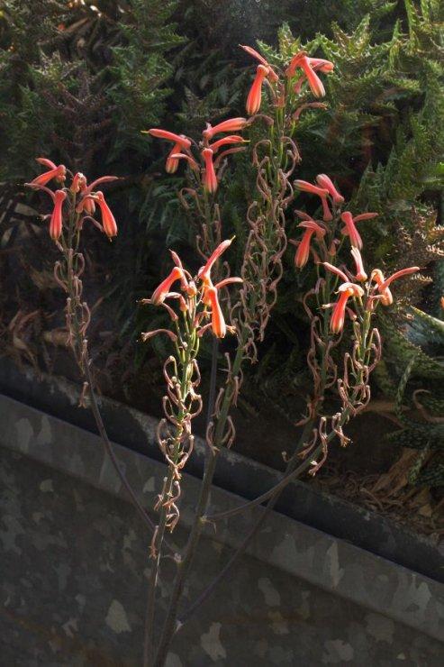 Aloe greenii - Foto: M. Hrdinová