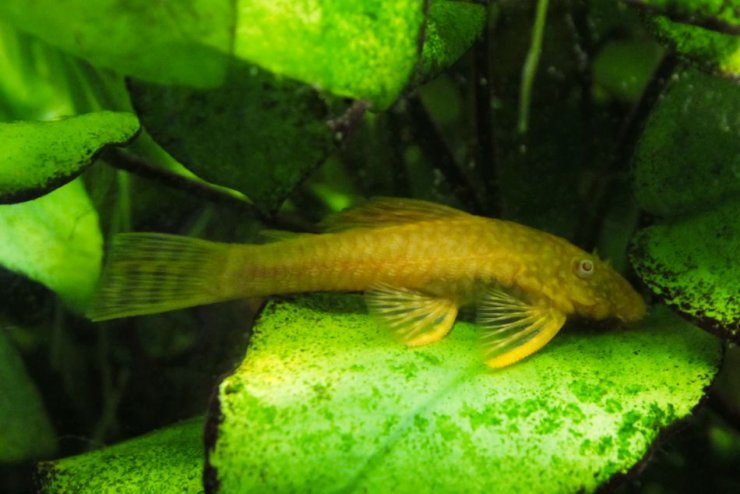 Ancistrus sp. 'Gold' - Foto: M. Hrdinová