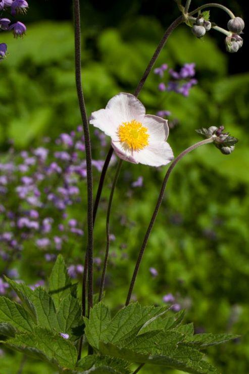 Anemone tomentosa (sasanka plstnatá) - Foto: M. Hrdinová