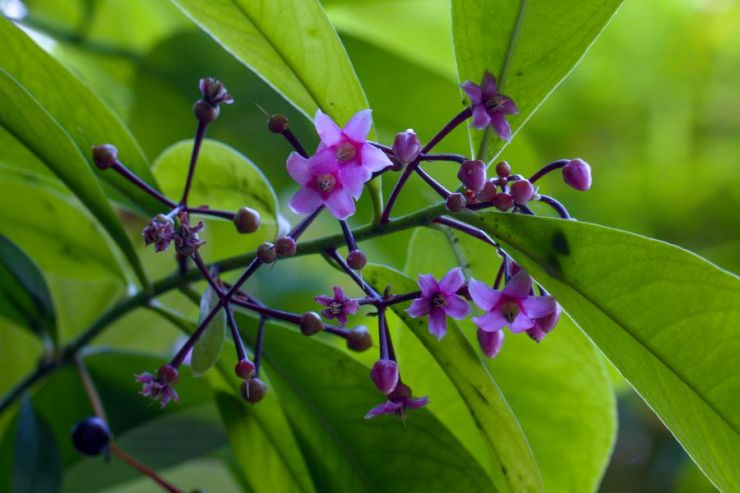 Ardisia paniculata (ardisie latnatá) - Foto: M. Hrdinová
