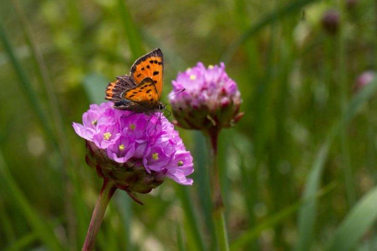 Armeria vulgaris (trávnička obecná) - Foto: M. Hrdinová