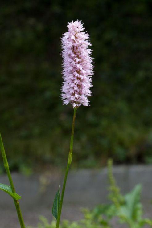 Bistorta officinalis (rdesno hadí kořen) - Foto: M. Hrdinová