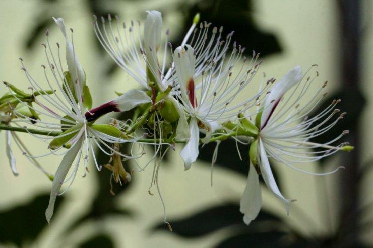 Boscia oleoides (kapara kožovitá) - Foto: M. Hrdinová
