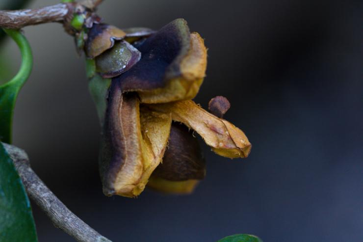 Camellia reticulata (kamélie síťovaná) - Foto: M. Schafferová