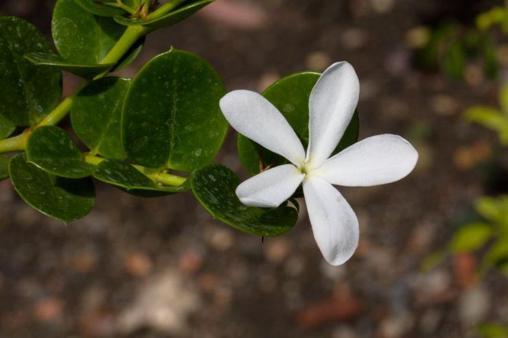 Carissa grandiflora (karisa velkokvětá) - Foto: M. Hrdinová
