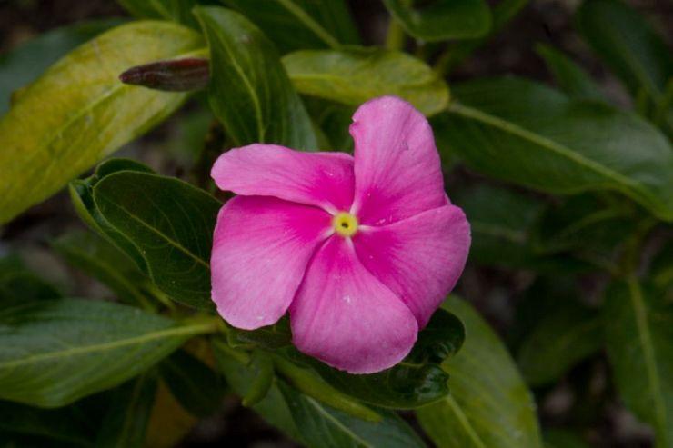 Catharanthus roseus (katarantus růžový) - Foto: M. Hrdinová