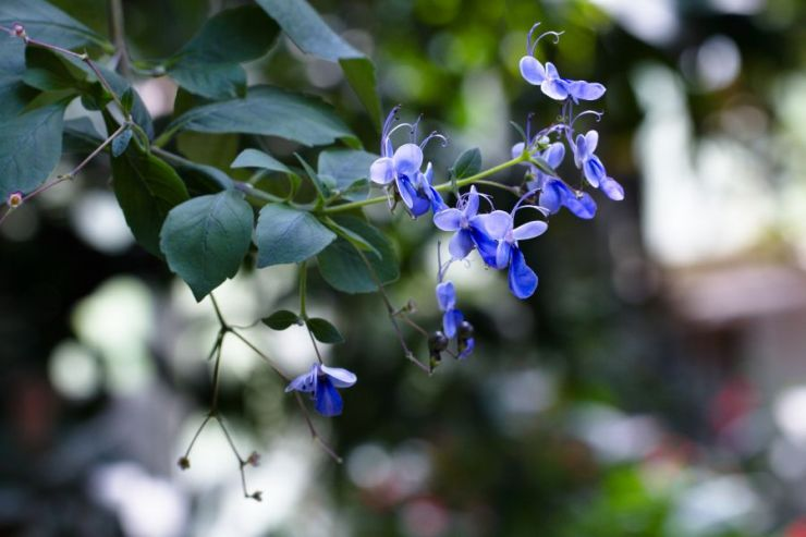 Clerodendrum ugandense - Foto: M. Hrdinová