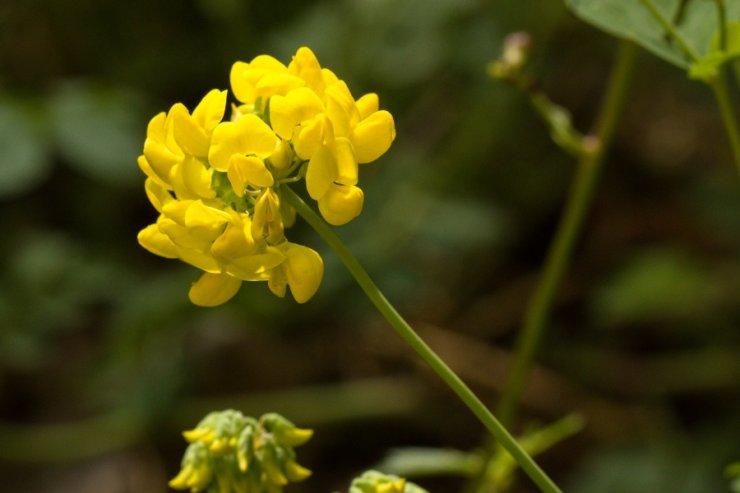 Coronilla caronata (čičorka korunkatá) Foto: M. Hrdinová