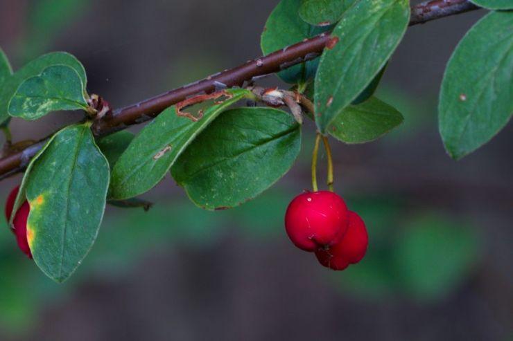 Cotoneaster integerrimus (skalník celokrajný) - Foto: M. Hrdinová