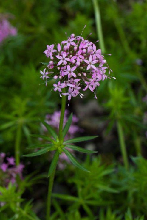 Crucianella stylosa (kříženka růžová) - Foto: M. Hrdinová