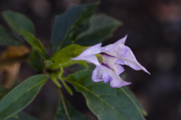 Datura stramonium (durman obecný) - Foto: M. Hrdinová