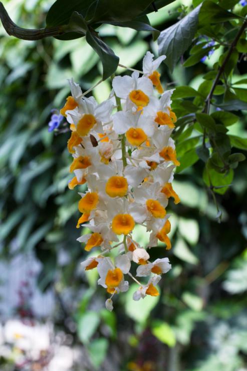 Dendrobium thyrsiflorum - Foto: M. Schafferová