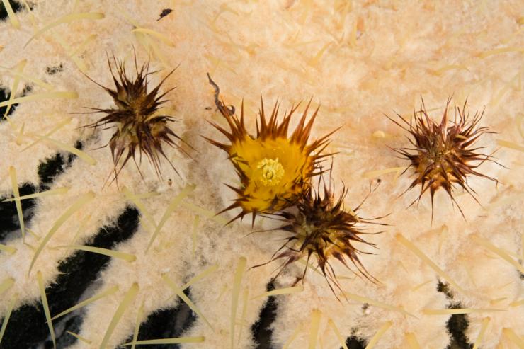 Echinocactus grusonii - Foto: M. Schafferová