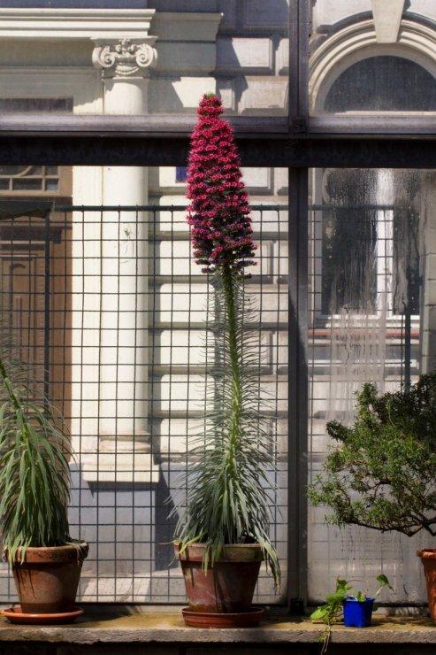 Echium wildpretii (hadinec) - Foto: M. Hrdinová