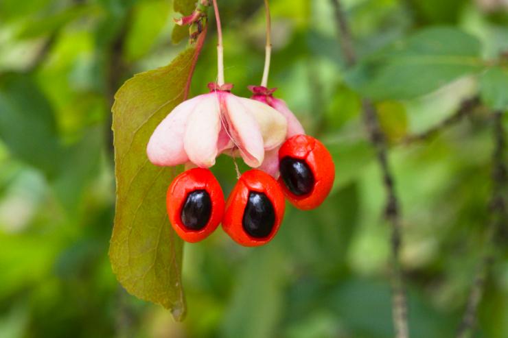 Euonymus verrucosa (brslen bradavičnatý) - Foto: M. Schafferová
