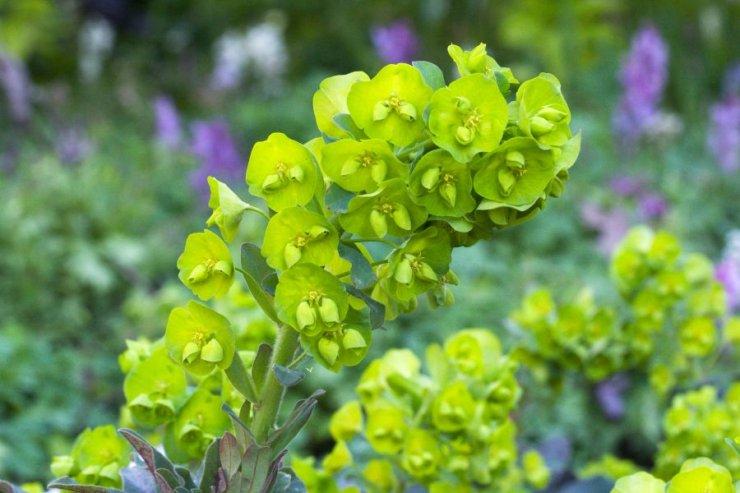 Euphorbia amygdaloides (pryšec mandloňovitý) - Foto: M. Hrdinová