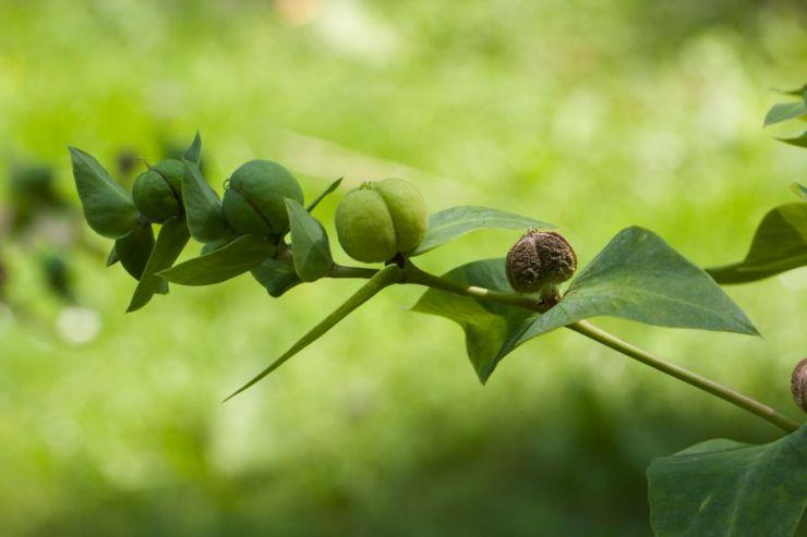 Euphorbia lathyris (pryšec skočcový) - Foto: M. Hrdinová