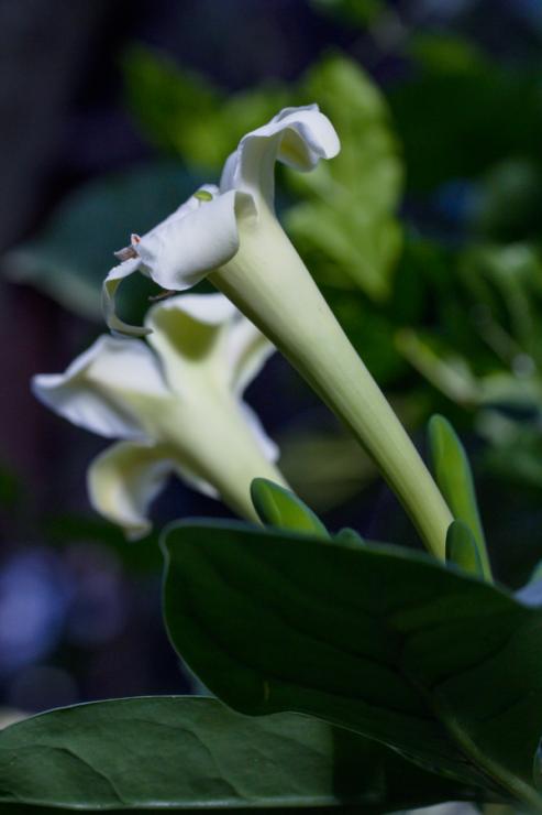 Fagraea ceilanica - Foto: M. Schafferová