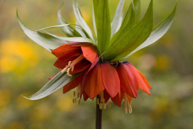 Fritillaria imperialis (řebčík královský) - Foto: M. Hrdinová