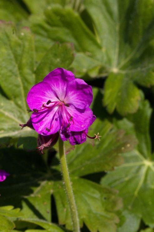Geranium macrorrhizum (kakost velkokořenný) - Foto: M. Hrdinová
