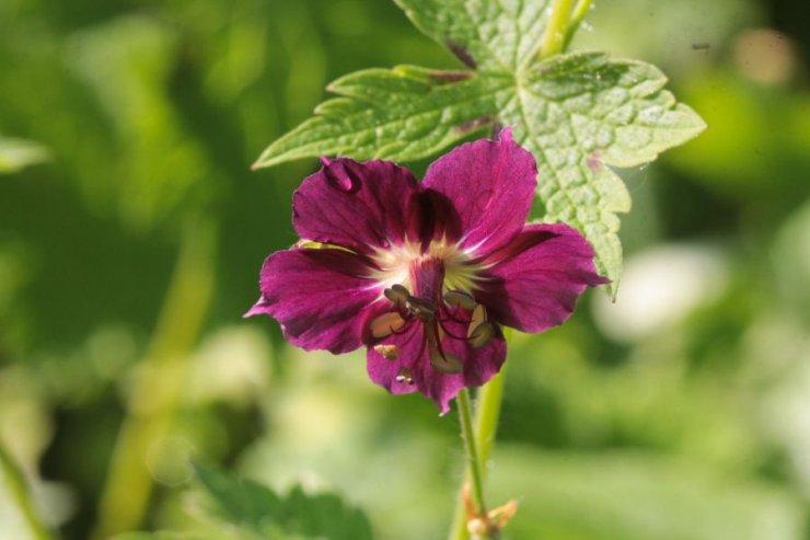 Geranium phaeum (kakost hnědočervený) - Foto: M. Hrdinová