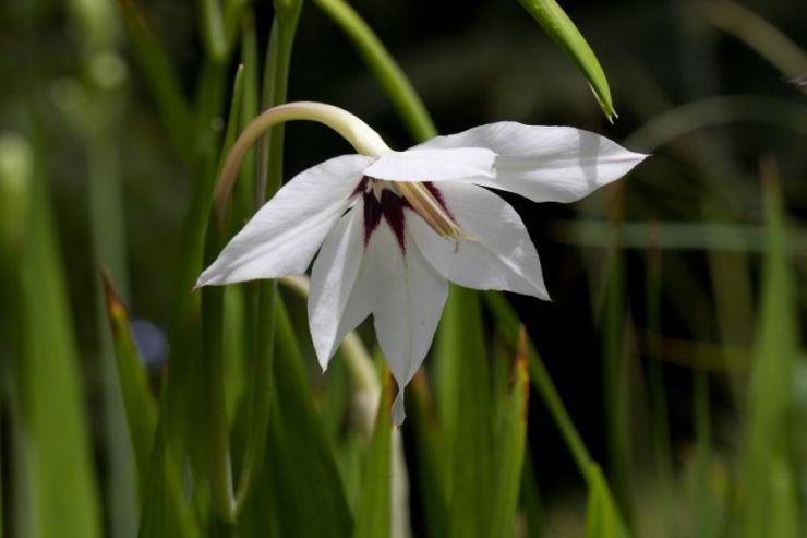 Gladiolus callianthus - Foto: M. Hrdinová