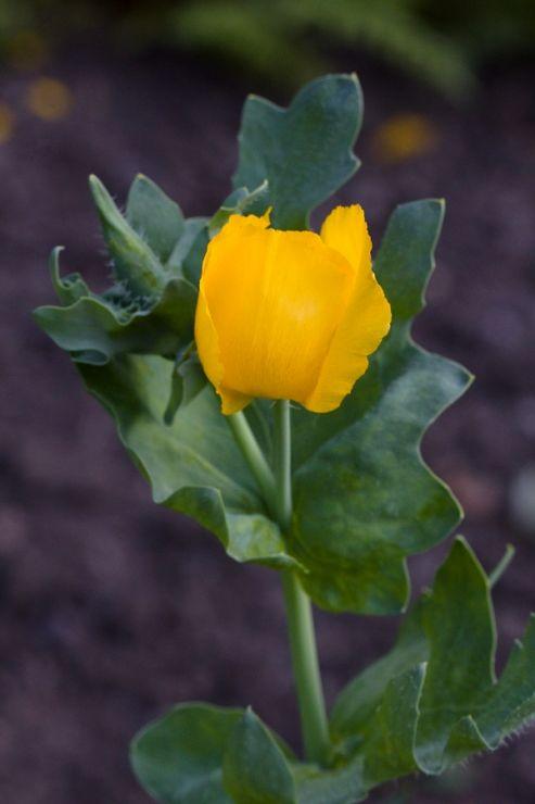Glaucum flavum (rohatec žlutý) - Foto: M. Hrdinová