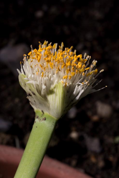 Haemanthus albiflos (bělokvět bělokvětý) - Foto: M. Schafferová