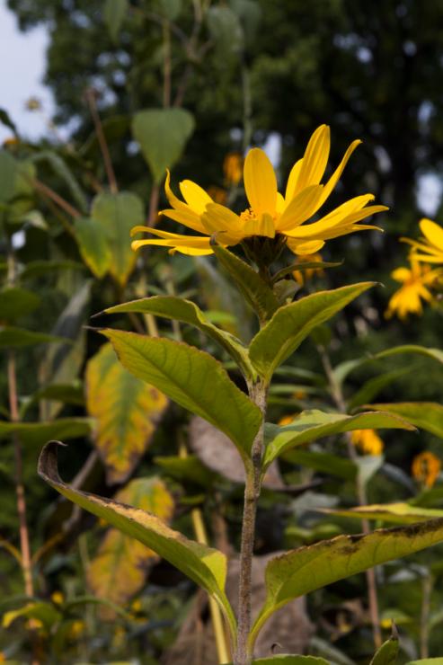 Helianthus tuberosus (slunečnice topinambur) - Foto: M. Schafferová