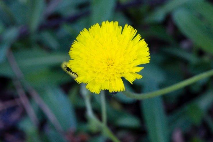 Hieracium lactucella (jestřábník myší ouško) Foto: M. Hrdinová