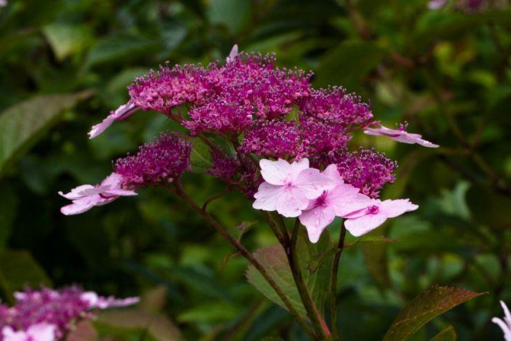 Hydrangea macrophylla (hortenzie velkolistá) - Foto: M. Hrdinová