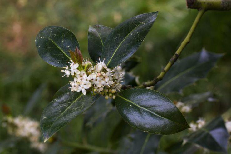 Ilex aquifolium (cesmína ostrolistá) - Foto: M. Hrdinová