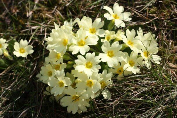 Primula vulgaris (prvosenka bezlodyžná) - Foto: L. Pavlata