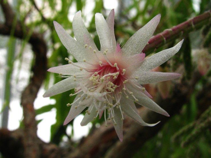 Rhipsalis pilocarpa - Foto: T. Procházka