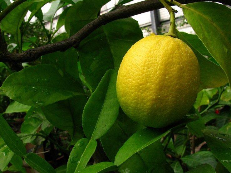 Citrus limon (citroník) - Foto: T. Procházka