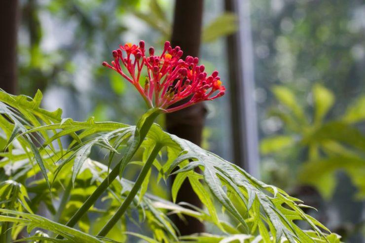 Jatropha multifida (dávivec mnohadílný) - Foto: M. Hrdinová