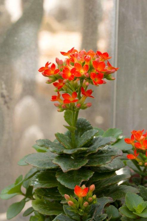 Kalanchoe blossfeldiana - Foto: M. Hrdinová