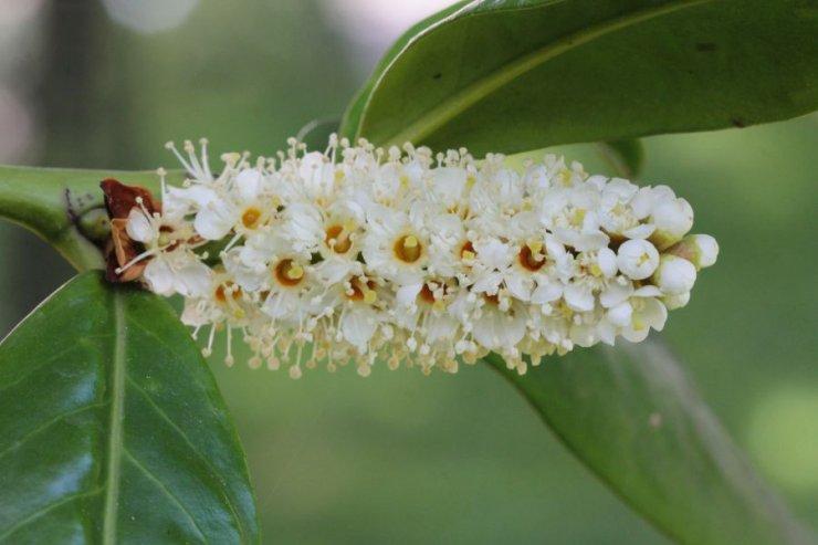 Laurocerasus officinalis (bobkovišeň lékařská) - Foto: M. Hrdinová