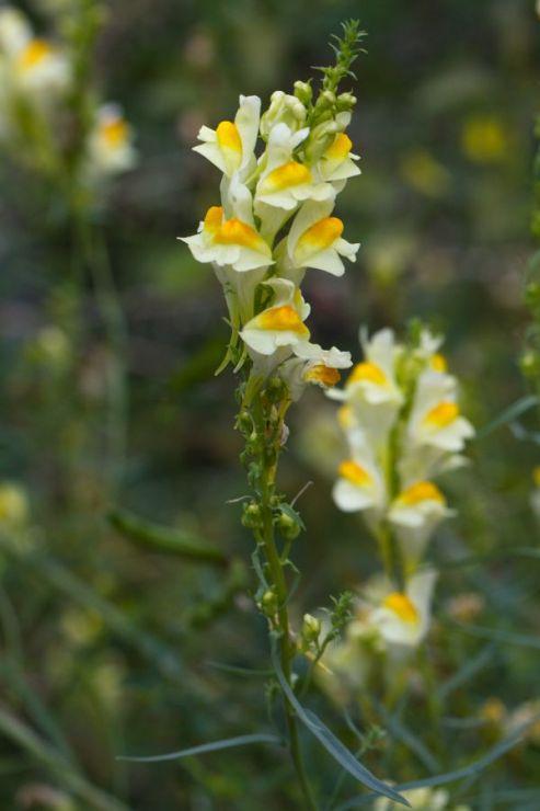Linaria vulgaris (lnice květel) - Foto: M. Hrdinová