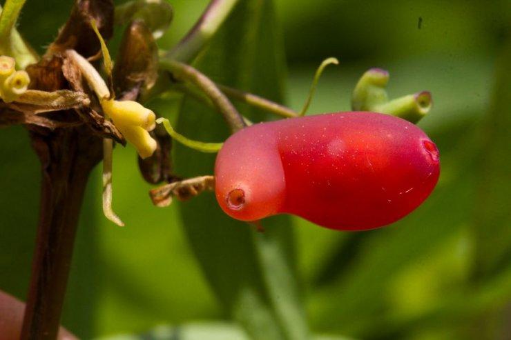 Lonicera x purpusii (zimolez Purpusův) - Foto: M. Hrdinová