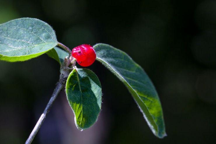 Lonicera xylosteum (zimolez pýřitý) - Foto: M. Hrdinová