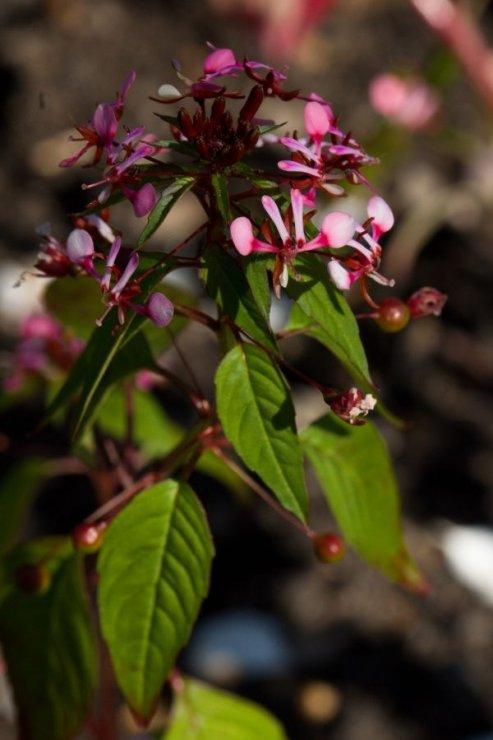 Lopezia racemosa (poronek) - Foto: M. Hrdinová