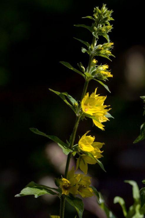 Lysimachia punctata (vrbina tečkovaná) - Foto: M. Hrdinová