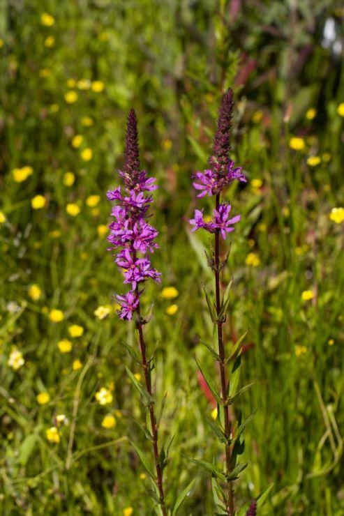 Lythrum salicaria (kyprej vrbice) - Foto: M. Hrdinová