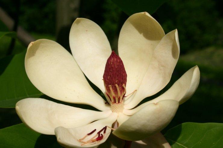 Magnolia hypoleuca (šácholan obvejčitý) Foto: L. Hrouda