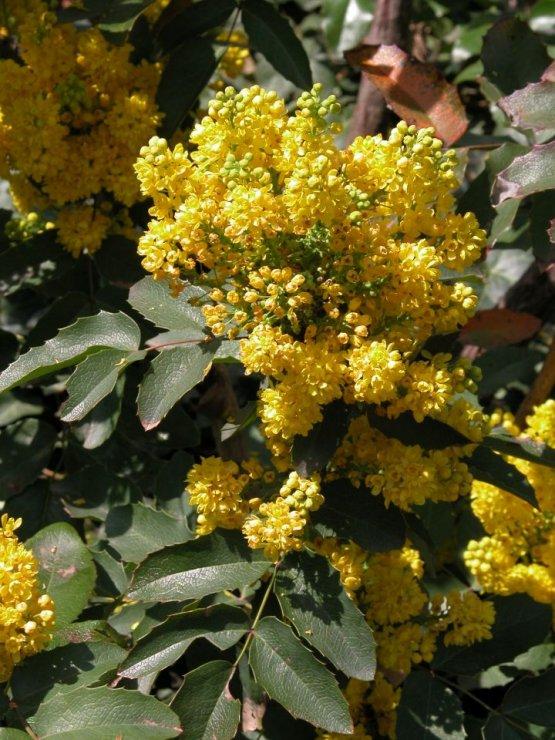 Mahonia aquifolium (mahónie cesmínolistá) - Foto: L. Hrouda