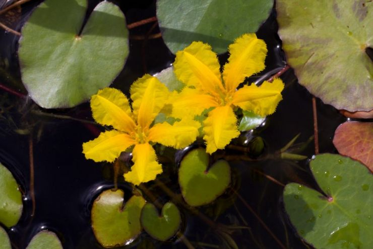 Nymphoides peltata (plavín štítnatý) - Foto: M. Hrdinová