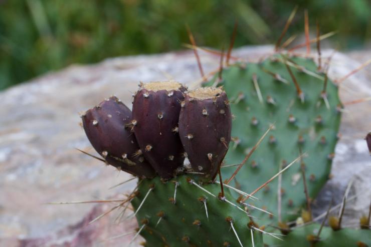 Opuntia phaeacantha - Foto: M. Schafferová