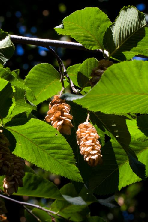 Ostrya carpinifolia (habrovec habrolistý) - Foto: M. Schafferová
