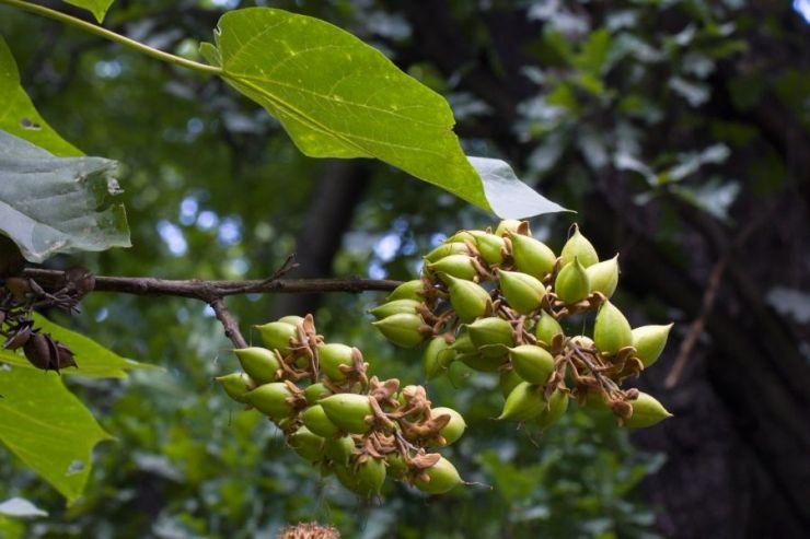 Paulownia tomentosa (pavlovnie plstnatá) - Foto: M. Hrdinová